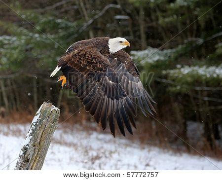 Bald Eagle Take-off