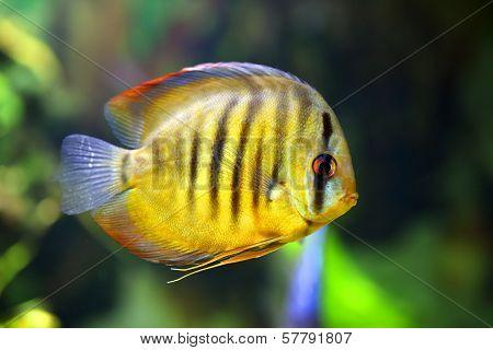 Diskus Fish