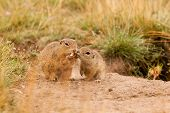foto of ground nut  - Ground squirrels with nut and love together - JPG