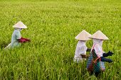 Vietnamese women working in a rice paddy