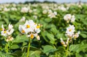 pic of solanum tuberosum  - White and yellow flowering potato plants in a large farm field.