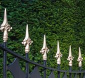 image of conifers  - Closeup of a black painted wrought iron fence with gold painted spikes in front of a conifer hedge - JPG