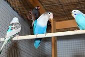 foto of budge  - Three blue budgerigars in the cage on a perch - JPG
