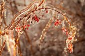 picture of barberry  - Barberry branches covered with ice as background - JPG