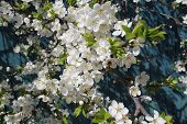 foto of pompous  - spring young tree cherry in pompous flourish bloom - JPG