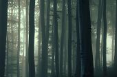 image of birching  - Birch trees in a dark forest with fog - JPG