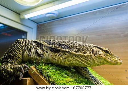 Monitor lizard (Varanus) in the terrarium