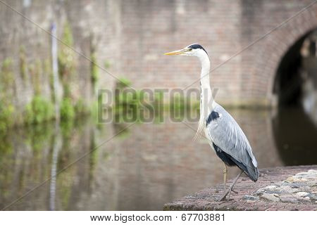 Blue heron in city on embankment of canal