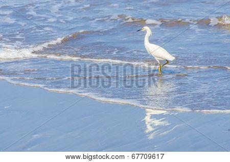 Snowy egret in Peru