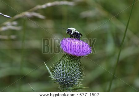Bumble Bee on a thistle