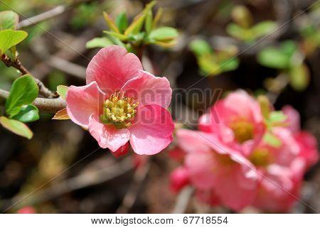 Chaenomeles Pink Flower