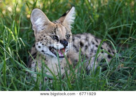 Gato montés enojado Serval