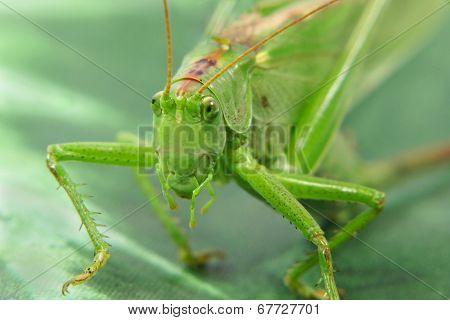 Locust.closeup.