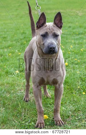 Domestic Dog Rhodesian Ridgeback Breed