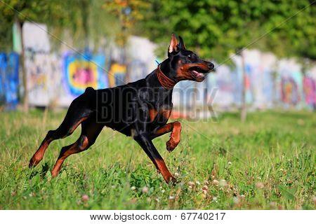 Black doberman running