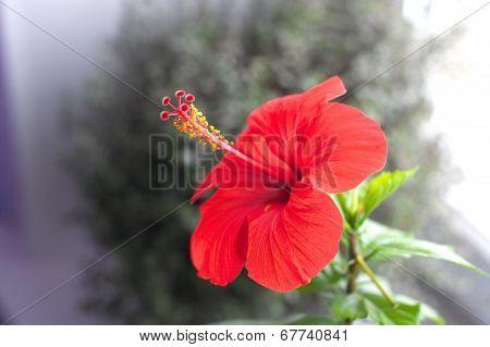 Red Hibiskus Flower