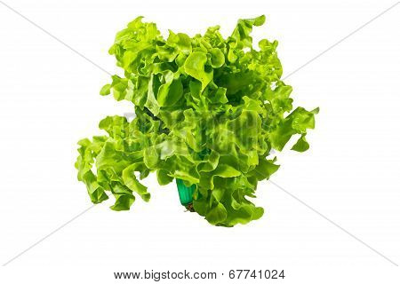 Fresh Green Oak Lettuce