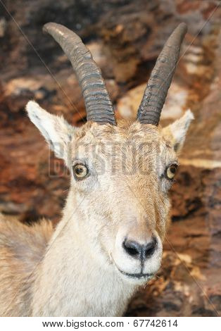 Beautiful Specimen Of Ibex In The Rocks Of The Alps