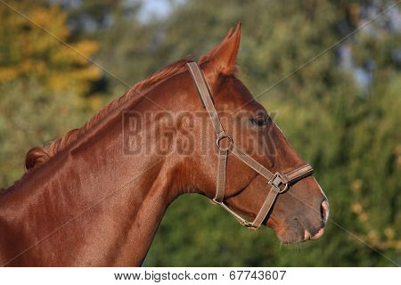 Brown Beautiful Horse Portrait In Summer