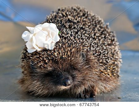 Hedgehog With With Rose Flower In The Needles