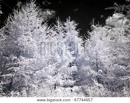 Larch On Sky Background. Infrared Photography