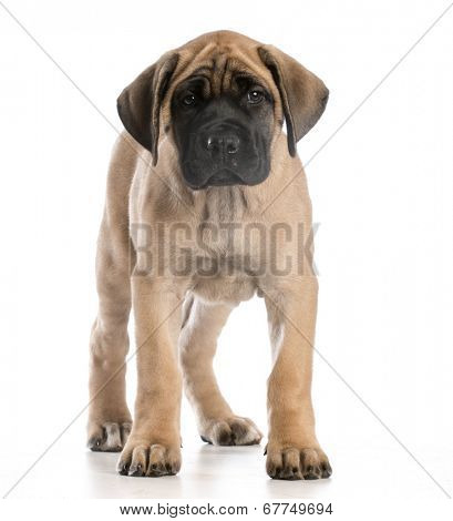 english mastiff puppy standing looking at viewer on white background