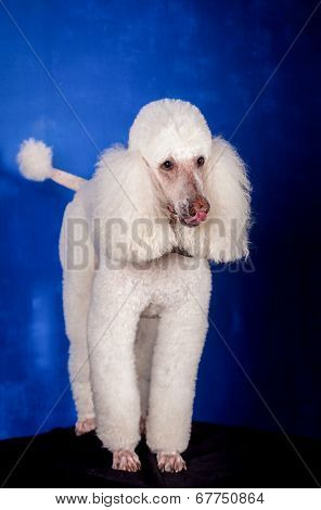 White Royal poodle on blue