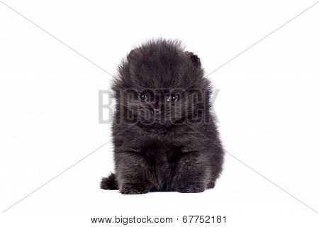 Black Pomeranian puppy on white