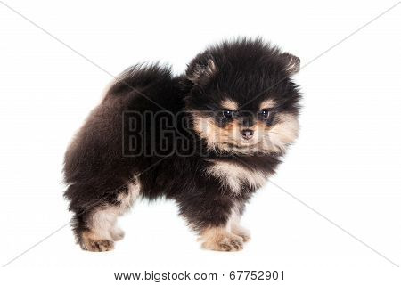 Miniature Spitz puppy on white