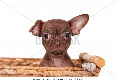 Chocolate Chihuahua puppy on white