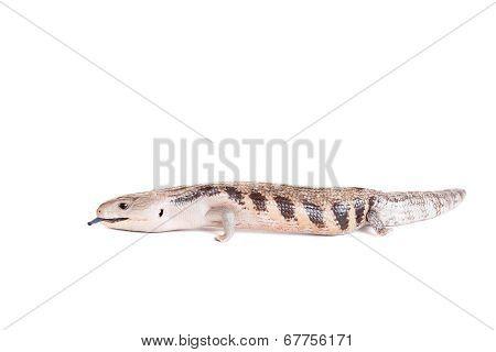 Eastern Blue-tongued Skink on white