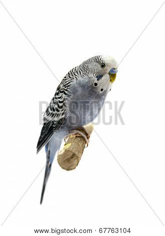 Budgie 4 years old on white