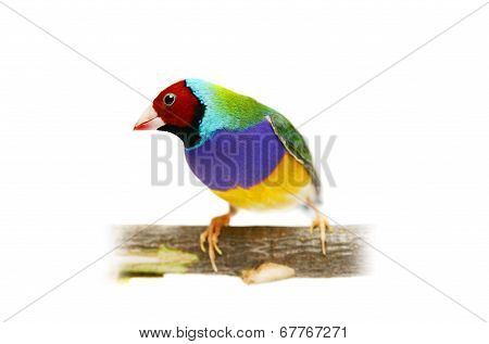 Gouldian Finch on white background