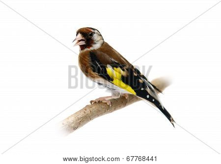 European goldfinch isolated on white