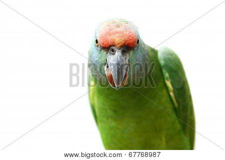 Flying festival Amazon parrot on white