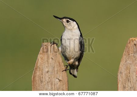 Nuthatch On A Fence