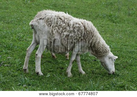 Sheep (Ewe)