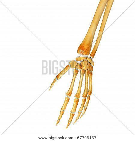 Wrist skeleton