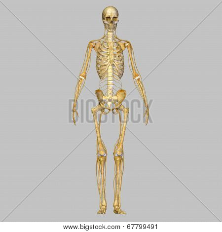 Skeleton with nervous system