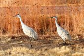picture of apache  - Sandhill Crane (Grus canadensis) at sunrise in the Bosque del Apache in New Mexico