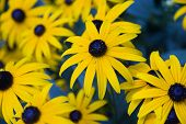 stock photo of black-eyed susans  - Black - JPG
