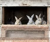 picture of rabbit hutch  - grey brown newborn bunnies in old cage background - JPG