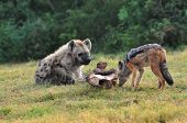 stock photo of hyenas  - Spotted Hyena and Jackal deciding over a bone