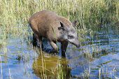 stock photo of tapir  - Lowland or South American tapir  - JPG