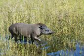 picture of lowlands  - Lowland or South American tapir  - JPG