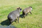 picture of tapir  - Lowland or South American tapirs  - JPG