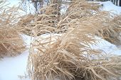 stock photo of paysage  - Dried grass swaying at the winter - JPG
