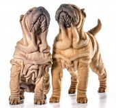 image of shar-pei puppy  - two chinese shar - JPG