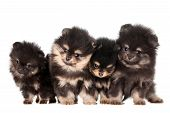 stock photo of miniature pomeranian spitz puppy  - Funny Pomeranian Puppies - JPG