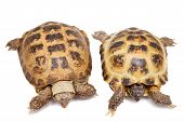 picture of tortoise  - Russian Tortoise or Central Asian tortoise - JPG